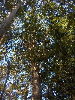Reise 2007 - Kauri-Dom, noch einmal zurück in den Kauri-Dom