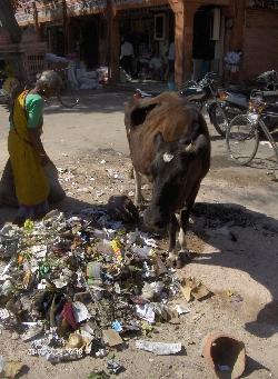 Reise 2008 - Die Heilige Kuh